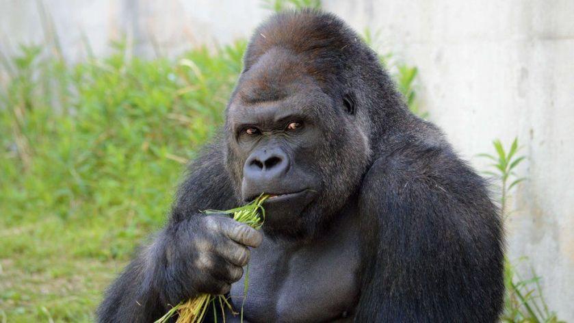 _83872388_afp_gorilla